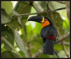 Tucano de bico preto - imagem da intenet